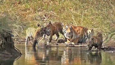 Tiger Family: पानी में एक-दूसरे के साथ मस्ती करते दिखा बाघों का परिवार, ताड़ोबा नेशनल पार्क से यह प्यारा वीडियो हुआ वायरल (Watch Video)