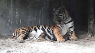 Good News! बाघिन शीला ने तीन शावकों को दिया जन्म, सिलीगुड़ी के बंगाल सफारी से सामने आई ये खूबसूरत तस्वीरें (See Pics)