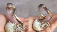 Newborn King Cobra: जन्म के तुरंत बाद फन फैलाता दिखा नवजात किंग कोबरा, वायरल वीडियो देख आप भी हो जाएंगे हैरान