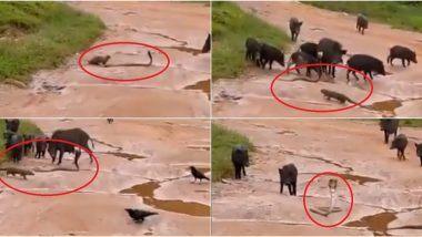 Viral Video of Cobra Saved From Killer Mongoose: कौवे और सूअरों ने नेवले से बचाई किंग कोबरा की जान, पेश की दोस्ती की अनोखी मिसाल
