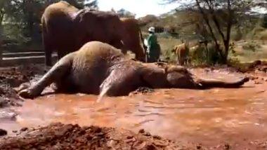 Elephant Enjoys Mud Bath: कीचड़ में लोटपोट होकर स्नान का आनंद लेता दिखा हाथी, उसका यह मजेदार वीडियो हुआ वायरल (Watch Viral Video)