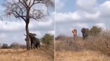 Elephant Viral Video: हाथी ने दिखाई गजब की ताकत, अपनी सूंड पेड़ को गिराते गजराज का दिलचस्प वीडियो हुआ वायरल