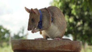 Rat Wins Animal Hero Award: चूहे को किया गया गोल्ड मेडल से सम्मानित, कंबोडिया में Landmines का पता लगाने के लिए मिला यह पुरस्कार