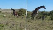 Giraffe Protects Calf From Cheetahs: चीताओं के हमले से अपने नन्हे बच्चे की रक्षा करती मां जिराफ का वीडियो हुआ वायरल, आप भी देखें