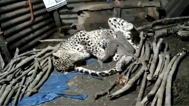 Leopard Shift To Jungle With Her Four Cubs: अपने चार नन्हे शावकों के साथ जंगल शिफ्ट हुई मादा तेंदुआ, नासिक में एक झोपड़ी में दिया था जन्म (Watch Video)