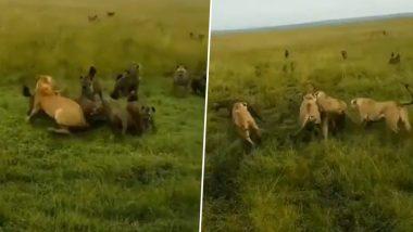 Lionesses & Hyenas Fight Video: जब लकड़बग्घों के झुंड ने किया शेरनी पर हमला, इस जबरदस्त लड़ाई के वायरल वीडियो में छुपा है महत्वपूर्ण संदेश