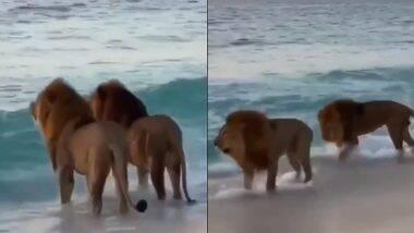Viral Video of Two Lions: दुबई के बीच से दो शेरों का पुराना वीडियो वायरल, जिसमें एक कपल की तरह दोनों समंदर की लहरों को निहारते नजर आए