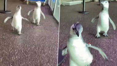 Baby Penguins Adorable Video: मस्ती में दौड़ लगाते दो नन्हे पेंगुइन का वीडियो हुआ वायरल, इंटरनेट यूजर्स बोले- So Cute