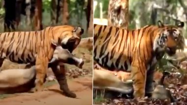 Tiger Viral Video: शिकार करने के बाद गाय को अपने मुंह से घसीटकर जंगल ले गया बाघ, इंटरनेट पर वायरल हुआ यह दुर्लभ वीडियो