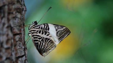 Spialia Zebra: राजस्थान के मुकेश पंवार ने खोजी देश की 1328वीं तितली, अब तक 111 प्रजातियों की तितलियों की कर चुके हैं खोज