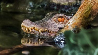 Crocodile Viral Video: मगरमच्छ ने पानी में स्पीडबोट के साथ लगाई जबरदस्त रेस, वीडियो सोशल मीडिया पर हुआ वायरल