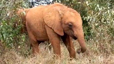 Baby Elephant Adorable Video: अपनी छोटी सूंड की मदद से घास खाते नन्हे अनाथ हाथी का प्यारा वीडियो हुआ वायरल, जिसे देख आपको भी आ जाएगा उस पर प्यार