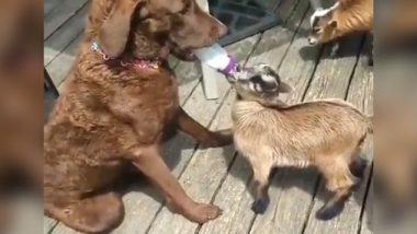 Viral Video: एक कुत्ते का बकरी के बच्चे को बोतल से दूध पिलाता हुआ क्लिप वायरल, देखें वीडियो