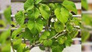 Amazing Benefits of Giloy: आयुर्वेदिक जड़ी बूटी गिलोय के सेवन से होते हैं ये अद्भुत स्वास्थ फायदे