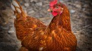 Sex With Pet Chickens: ब्रिटेन का एक शख्स अपनी पालतू मुर्गियों के साथ करता था सेक्स और पत्नी बनाती थी वीडियो, आरोपी को मिली ये सजा