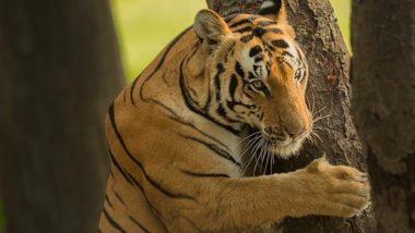 Tiger Hugging Tree Viral Pics: घने जंगल में पेड़ को गले लगाते बाघ के इंडियन वर्जन वाली तस्वीर तेजी से हो रही है वायरल, आप भी देखें