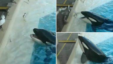 Killer Whale: विशाल किलर व्हेल ने पक्षियों का शिकार करने के लिए आजमाया गजब का तरीका, वायरल वीडियो देख आप भी रह जाएंगे दंग