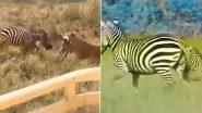 Zebra Vs Lion: अपने बच्चे को बचाने के लिए शेर से जा भिड़ी मां जेब्रा, जंगल के राजा को मारी ऐसी किक कि उसे माननी पड़ी हार (Watch Viral Video)