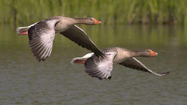 World Migratory Bird Day 2020: विश्व प्रवासी पक्षी दिवस आज, जानें पक्षियों को समर्पित इस दिन का इतिहास, थीम और महत्व