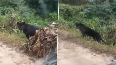 Black Panther Viral Video: देश के एक पहाड़ी जंगल में घूमता दिखा दुर्लभ ब्लैक पैंथर, हैरान करने वाला वीडियो इंटरनेट पर हुआ वायरल