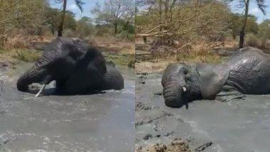 Elephant Enjoys Bath Time: पानी में लोटपोट होकर स्नान का लुत्फ उठाते 9 साल के अनाथ हाथी का प्यारा वीडियो हुआ वायरल, आप भी देखें