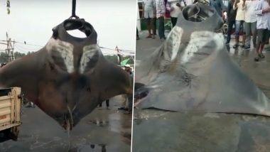 Manta Rays Viral Video: कर्नाटक तट से मछुआरे ने पकड़े दो विशाल मांटा रे, 750 kg और 250 किलो है वजन, देखें वायरल वीडियो