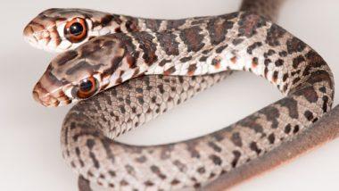 Two-Headed Snake: पालतू बिल्ली घर में ले आयी दो सिर वाला दुर्लभ सांप, तस्वीरें देखकर हो जाएंगे हैरान