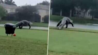 Dinosaurs Are Back? फिल्म जुरासिक पार्क की तरह बड़े पैमाने पर फ्लोरिडा में नेपल्स गोल्फ कोर्स में टहलते हुए पाये गये Alligator, देखें वीडियो