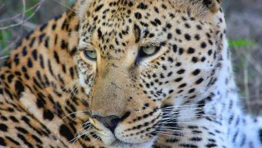 Delhi: The Forest Department is using drone cameras to search for leopards