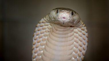 Albino Spectacled Cobra: देवभूमि उत्तराखंड में मिला दुर्लभ अल्बिनो स्पेक्टाकल्ड कोबरा, हलद्वानी में देखे गए 4 नाग
