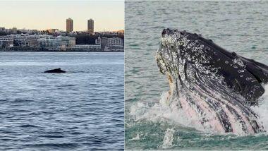 Humpback Whale Viral Video: न्यूयॉर्क में स्टैच्यू ऑफ लिबर्टी के पास हडसन नदी में तैरती दिखी हंपबैक व्हेल, देखें वायरल वीडियो