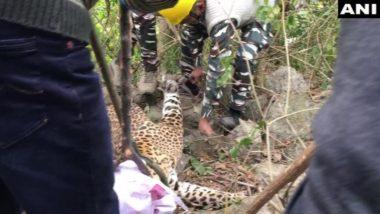Leopard Rescued: हिमाचल प्रदेश के धर्मशाला में वन अधिकारियों ने तेंदुए को किया रेस्क्यू, तस्वीरें वायरल
