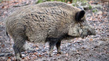 Coronavirus के तांडव के बीच ये बीमारी भी पसार रही है पाव, मिजोरम में 10,600 से अधिक सूअरों की मौत