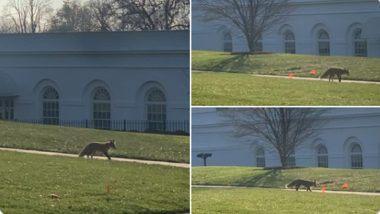 Fox Viral Video & Pics: व्हाइट हाउस कैंपस के भीतर घूमती दिखी लोमड़ी, वीडियो और तस्वीरें सोशल मीडिया पर हुई वायरल