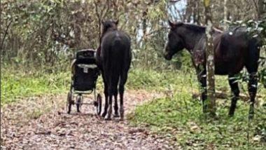 Viral Video: जंगली घोड़ों ने फ्लोरिडा में कपल से चुराया Baby Stroller, इस अजीबो-गरीब घटना का वीडियो हुआ वायरल