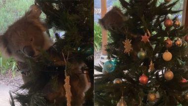 ऑस्ट्रेलिया: Christmas Tree पर बैठकर महिला को घूरते koala का वीडियो हुआ वायरल, जिसे देख आप भी हो जाएंगे हैरान
