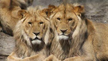 COVID-19: स्पेन के Barcelona चिड़ियाघर में चार शेर हुए कोरोना पॉजिटिव, बड़ी बिल्लियों में संक्रमण का यह दूसरा बड़ा मामला