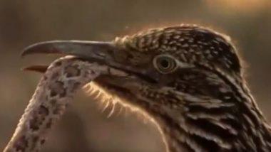 Roadrunner Eat Snakes: पक्षी ने जहरीले सांप का बड़ी चतुराई से किया शिकार, फिर उसे बनाया अपना निवाला, देखें डरावना वायरल वीडियो