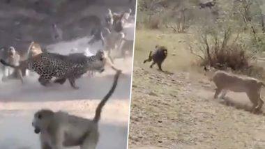 Shocking! जब चीते और शेर के सामने आ गया लंगूरों का झुंड, तो दुम दबाकर भागने को हुए मजबूर (Watch Viral Video)