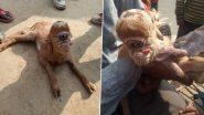 Uttar Pradesh: बिजनौर में आकर्षण का केंद्र बना विचित्र बकरी का बच्चा