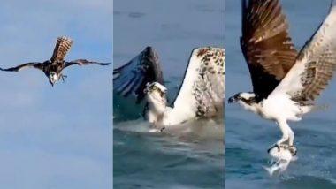 आसमान से ऊंची छलांग लगाकर बाज ने पानी में तैर रही मछली का किया शिकार, देखें हैरान करने वाला यह Viral Video
