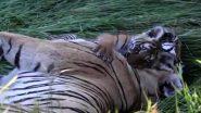 नन्हे बाघ ने अपनी मां बाघिन को प्यार से लगाया गले, आपके बचपन के दिनों की याद दिला देगा यह वीडियो