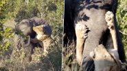 शिकार करने के इरादे से जब शेरनी ने हाथी पर किया हमला, फिर जो हुआ उसे देख हैरान हो जाएंगे आप (Watch Viral Video)