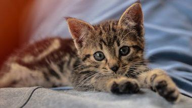दक्षिण कोरिया में कोरोना को लेकर बड़ा संकट, बिल्ली के बच्चे में कोविड-19 की पुष्टि