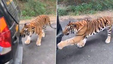 Close Call! बंगाल टाइगर ने बेंगलुरु के बन्नेरघट्टा नेशनल पार्क में एक सफारी टूरिस्ट वाहन खींचा, डरावना वीडियो वायरल
