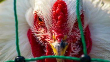 Bird Flu: मध्यप्रदेश के 32 जिलों तक पहुंचा बर्डफ्लू, विस्तार रोकने पर जोर