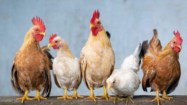 Bird Flu Confirmed in Maharashtra: महाराष्ट्र में बर्ड फ्लू की पुष्टि, 48 घंटों में 800 से अधिक मुर्गियों की मौत