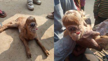 OMG! यूपी के बिजनौर में बकरी ने दिया एक आंख वाले मेमने को जन्म, विचित्र जानवर को देखने के लिए उमड़ी भीड़ (See Pics)