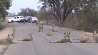 Viral Video: शेरों ने दिखाई गजब की एकजुटता! जंगल छोड़ सड़क के बीचों-बीच आराम फरमाते दिखे कई शेर