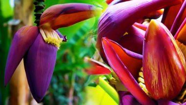 Banana Flowers: पकवान ही नहीं, सेहत और सौन्दर्य के लिए भी जबरदस्त है केले के फूल